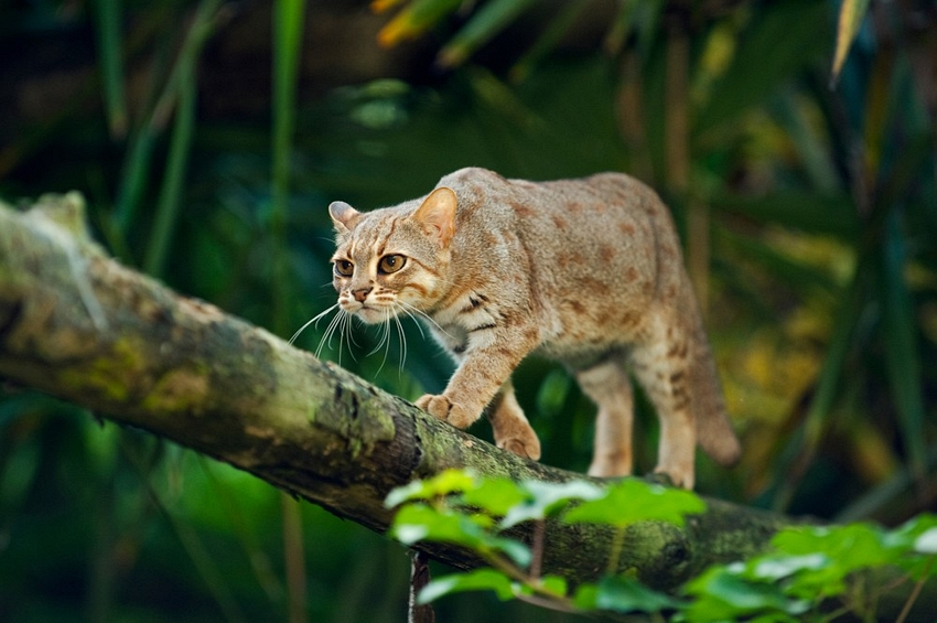 Rusty-Spotted-Cat-in-Tree