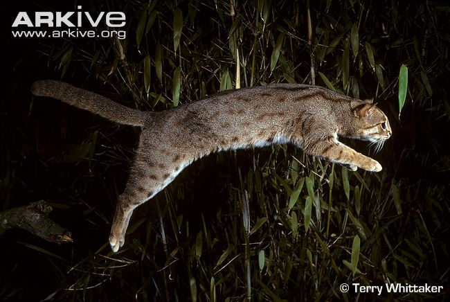 Rusty-spotted-cat-leaping