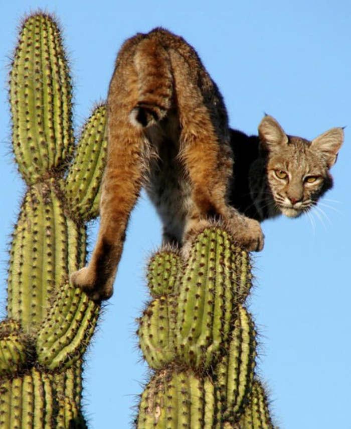 Scared-Bobcat