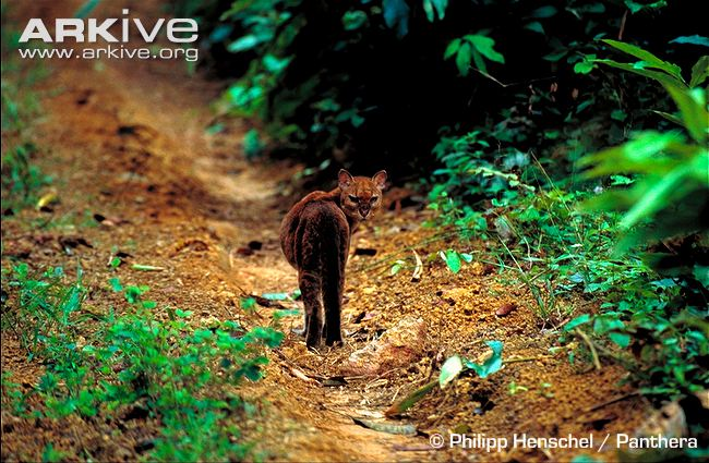 Wild-African-golden-cat-looking-to-camera