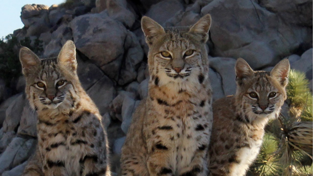 bobcats-11