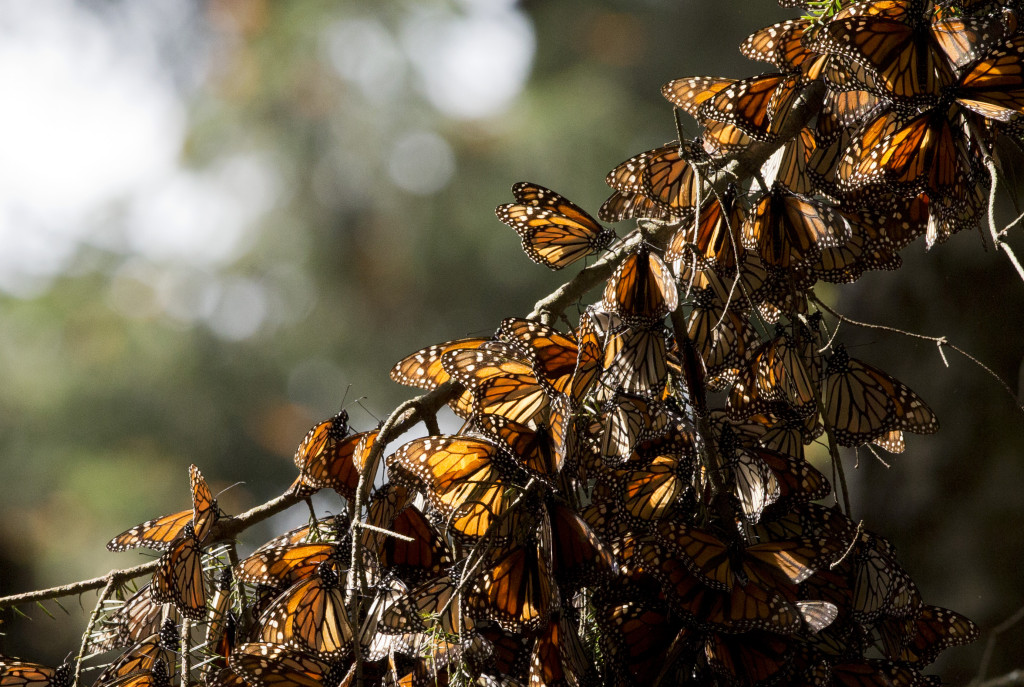 In this Jan. 4, 2015 photo, a kaleidoscope of Monarch butterflies hang from a tree branch, in the Piedra Herrada sanctuary, near Valle de Bravo, Mexico. More butterflies appear to have made the long flight from the U.S. and Canada to their winter nesting ground in western Mexico, raising hopes after their number dropped to a record low last year. But experts still fear that unusual cold temperatures will threaten the orange and black insects. (AP Photo/Rebecca Blackwell)