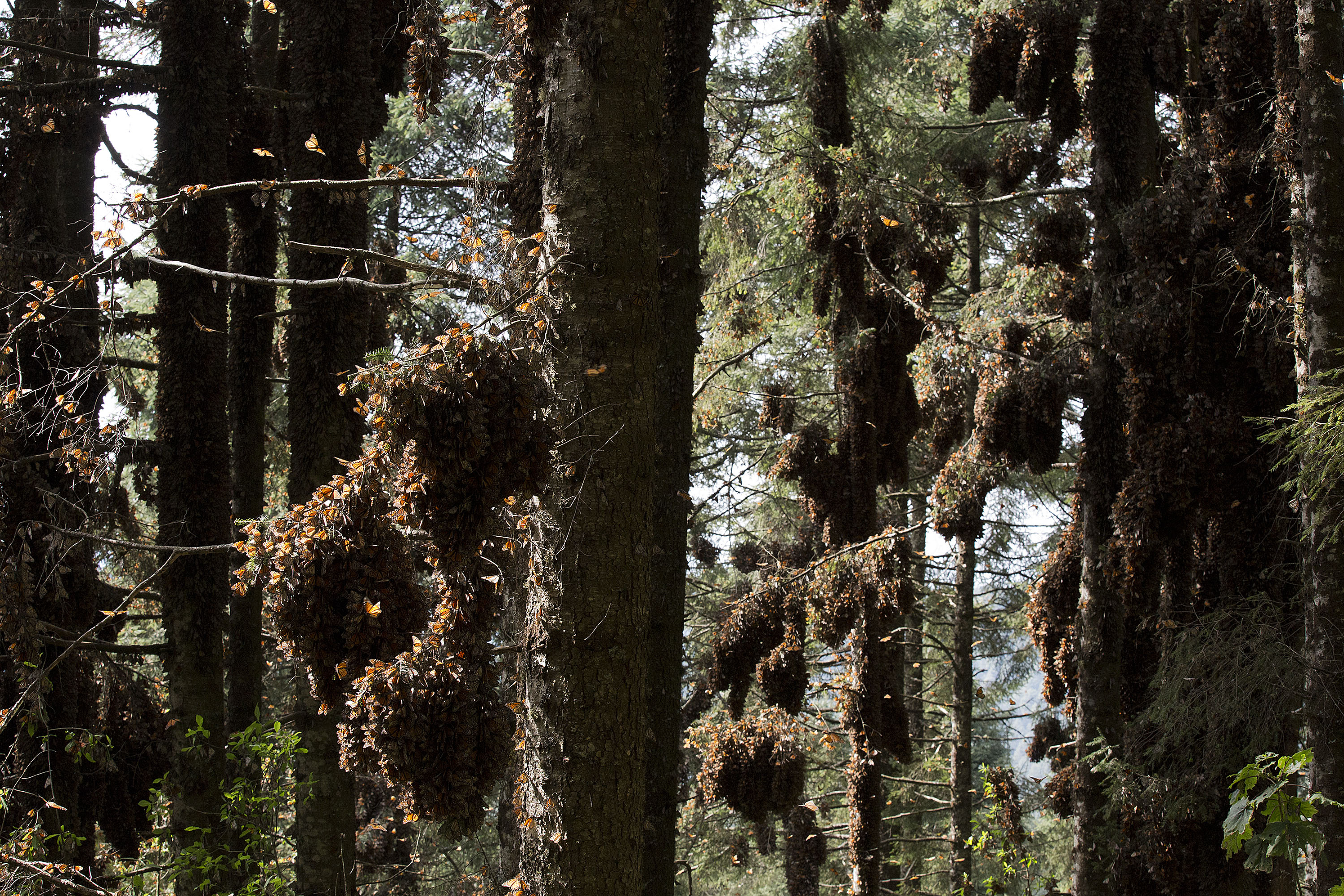 Monarch butterfly migration tree - photo#16