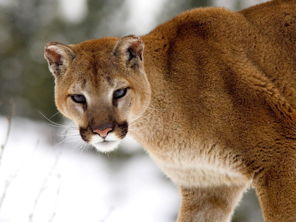 Wild Cats: The Cougar – kimcampion.com