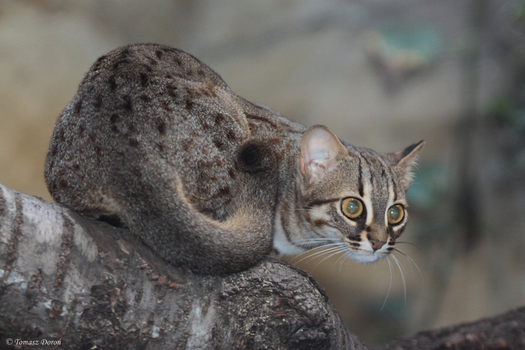 Wild Cats The Rusty Spotted Cat Kimcampion Com