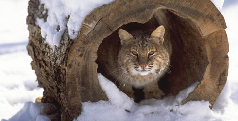 Bobcat in West Virginia, United States, North America. (WEB ONLY)