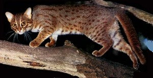 rusty_spotted_cat2
