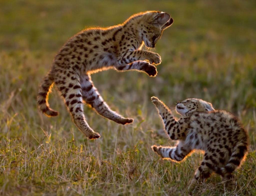 serval-cat1-1024x786