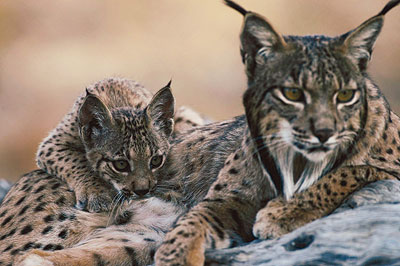 true-wildlife-iberian lynx3