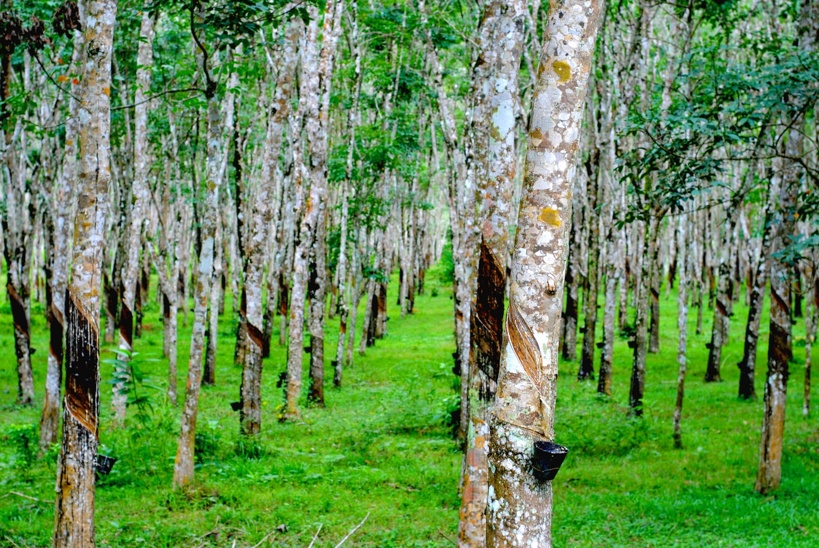 tree plantations Fast growing trees can earn thousands of dollars per acre a tree plantation timber investment can double or triple in just a few short years.
