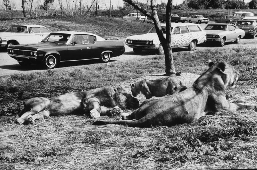 DATE UNKNOWN Visitors at Lion Country Safari passing by 19 year old lion Frazier and mother and cubs.