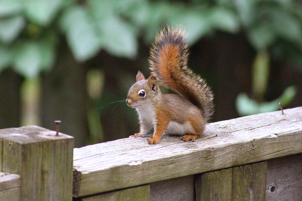 The News For Squirrels: Climate Change and the North American Red ...