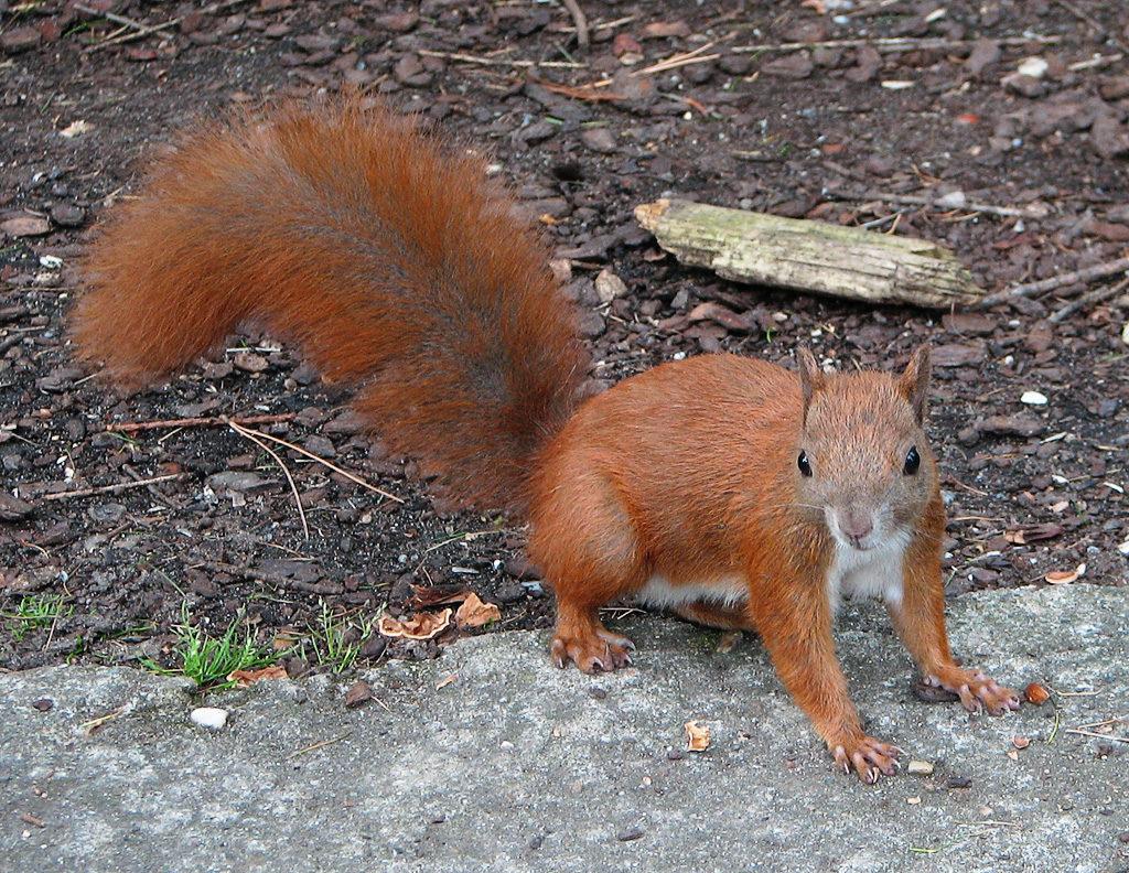 American red squirrel videos, photos and facts - Tamiasciurus ...