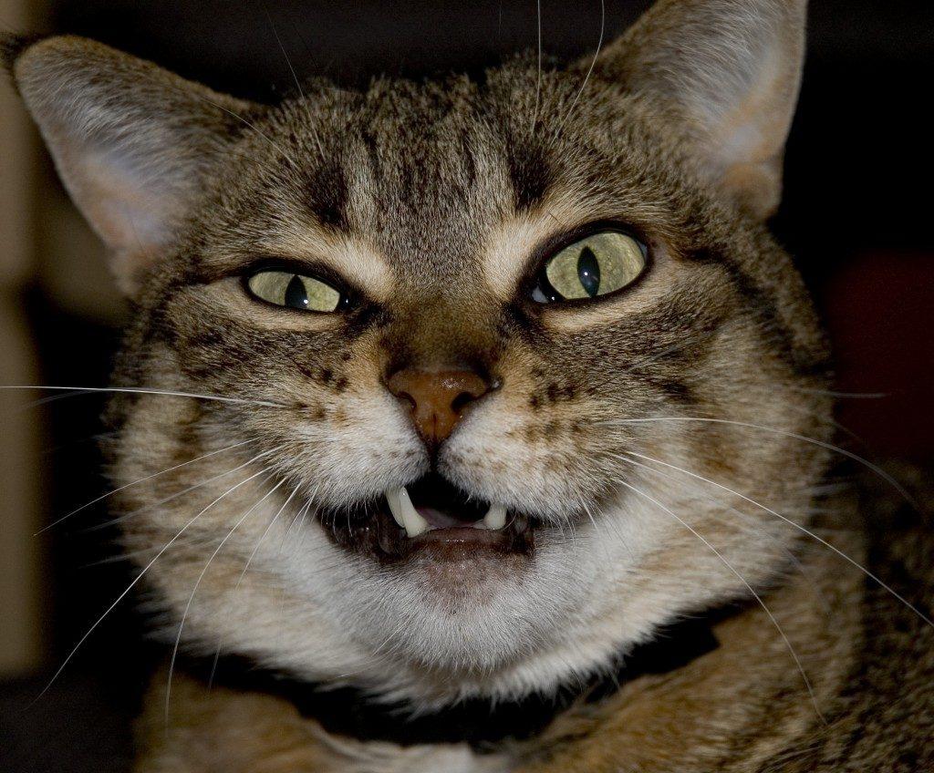 Gato-orgão-vomeronasal