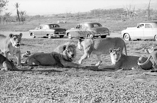 ks90q0-lioncountrysafari1972.500
