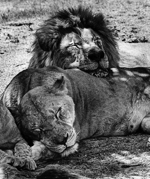 The Amazing Story Of Frasier The Sensuous Lion Kimcampion
