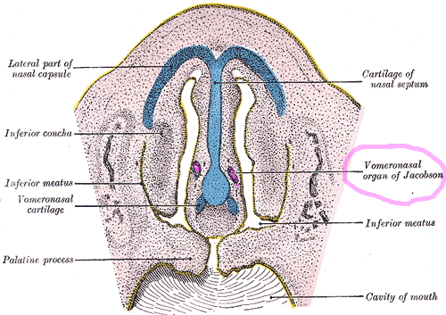 vomernasal organ in humans