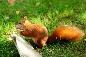 peter-trimming-brittish-wildlife-center-common-use-red-squirrel-eating-antler