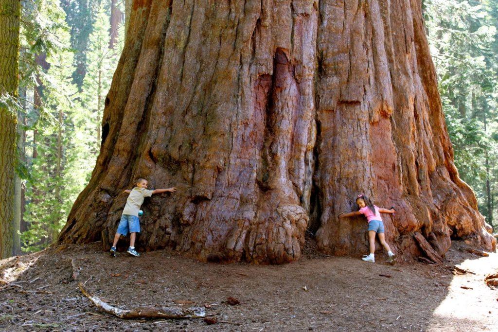 Redwood Vs Cedar >> The Redwood And The Giant Sequoia – kimcampion.com
